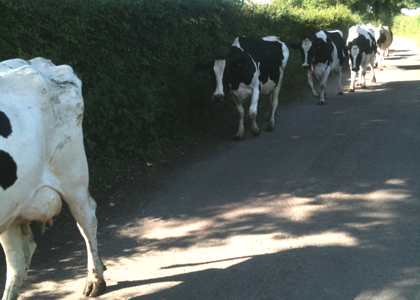 hello-cows